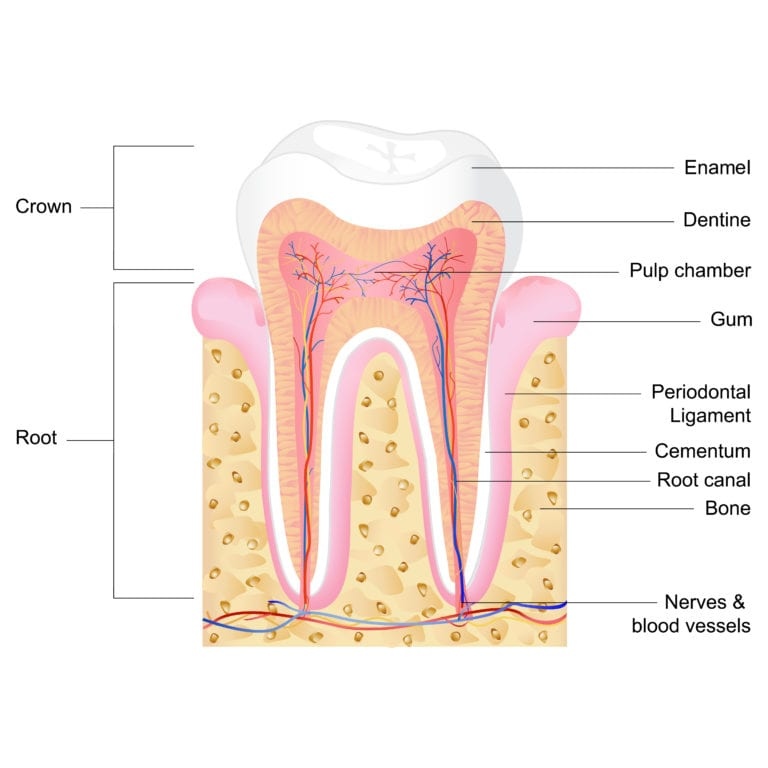 The Anatomy Of Your Teeth Dental Clinic In Ottawa On Kent